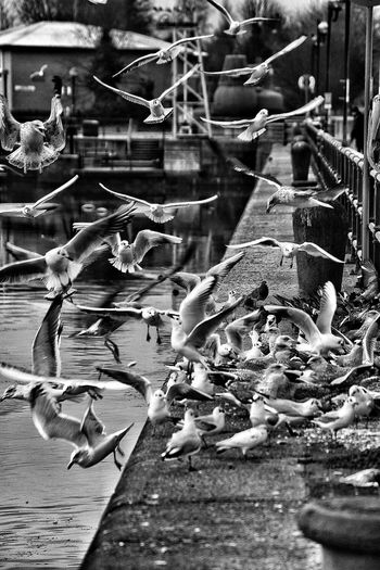 Feeding time. Taking Photos Dog Walking EyeEm Nature Lover Malephotographerofthemonth Preston, Lancashire Preston Docks Birds Birds In Flight