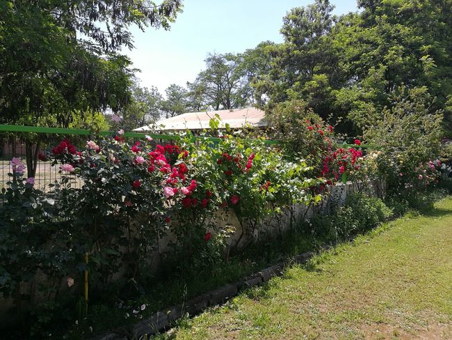 Growth Outdoors Day Green Color Nature No People Tree Grass Flower Sky Freshness Roses Plants Grass Rosas Campo Jardin Patio Rosales Florecido Colores Primavera Spring