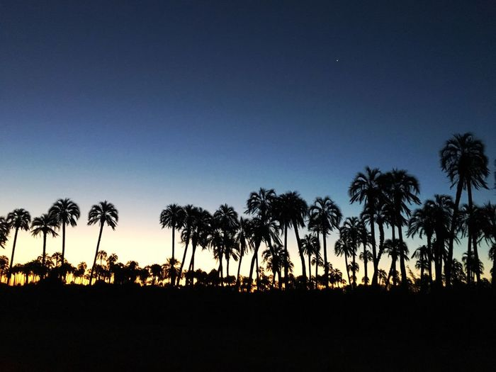 Tree Palm Tree Nature Growth Beauty In Nature Sunset No People Silhouette Outdoors Sky Scenics Day Palms Field Popckorn Argentina Entre Rios Tranquility Sunset Silhouettes Sunsets Palmeras