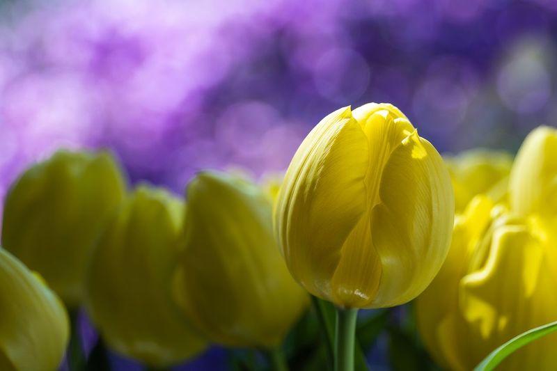 tulips Hamburg