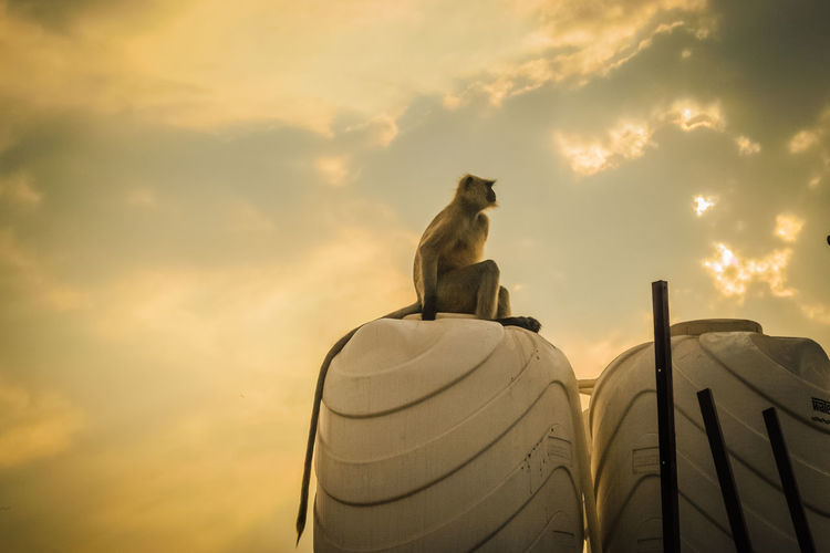 Primate sunset Ape India Sunlight Wildlife & Nature Animal Animal Portrait Animal Themes Animal Wildlife Animals Beauty In Nature Langur Cloud - Sky Clouds And Sky Day Low Angle View Mammal Monkey No People Outdoors Primate Sky Sunset Tail Wildlife EyeEmNewHere
