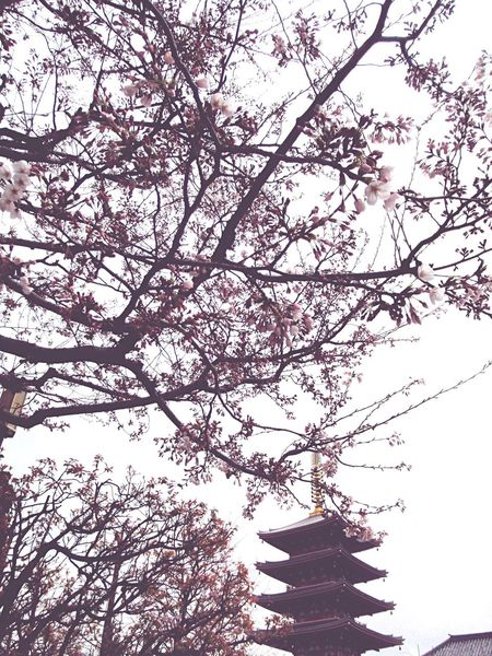 Urban Spring Fever Spring Cherry Blossoms Spring Festival Japan Pink Inspirations Fine Art Photography