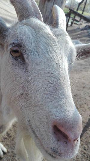 Goat Goatfarm Goat Farm Goat Head Goathead White Goat Pet Portraits