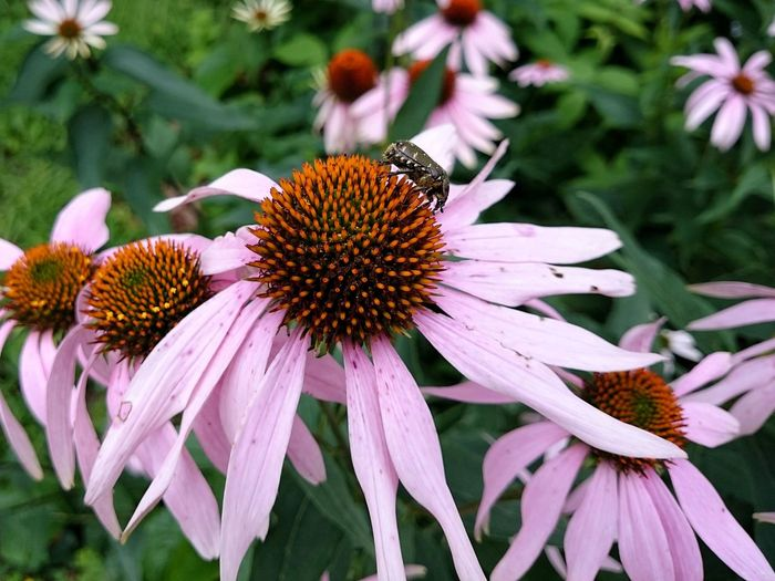 Close-Up Of Fresh Purple Coneflower