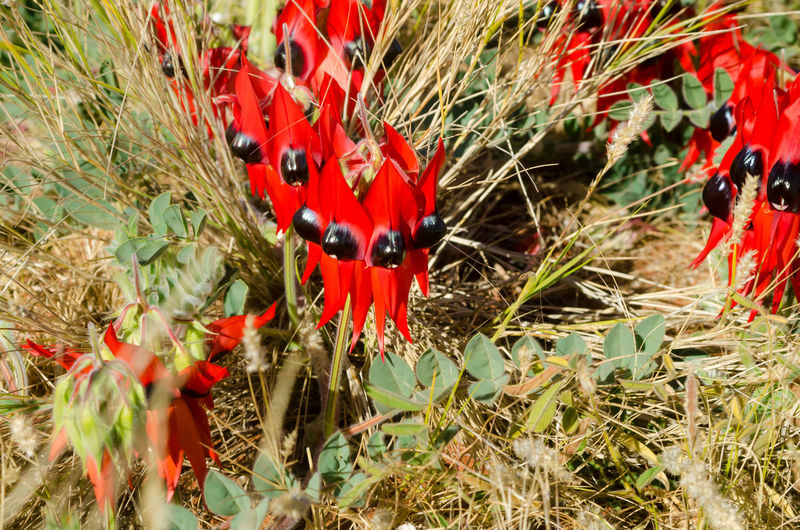 The iconic Australian Desert Pea pictured in it's natural landscape out in the Gibson Desert. These flowers are growing in among spinifex grasses Australia Beauty In Nature Desert Desert Pea Endemic Endemic Species Flower Flower Head Flowers Gibson Desert Grass Great Sandy Desert Iconic Flower Native Northern Territory Plant Red And Black Spinifex Grass Western Australia