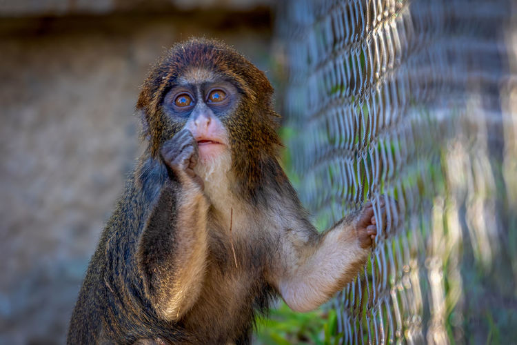 Primate Animal Wildlife Mammal One Animal Animals In The Wild Portrait Focus On Foreground Animals In Captivity No People Looking Vertebrate Zoo Close-up Ape Day Looking Away