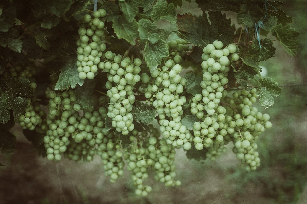 food and drink, growth, grape, fruit, food, plant, no people, healthy eating, nature, selective focus, day, freshness, beauty in nature, bunch, vineyard, close-up, green color, outdoors, wellbeing, tree, winemaking