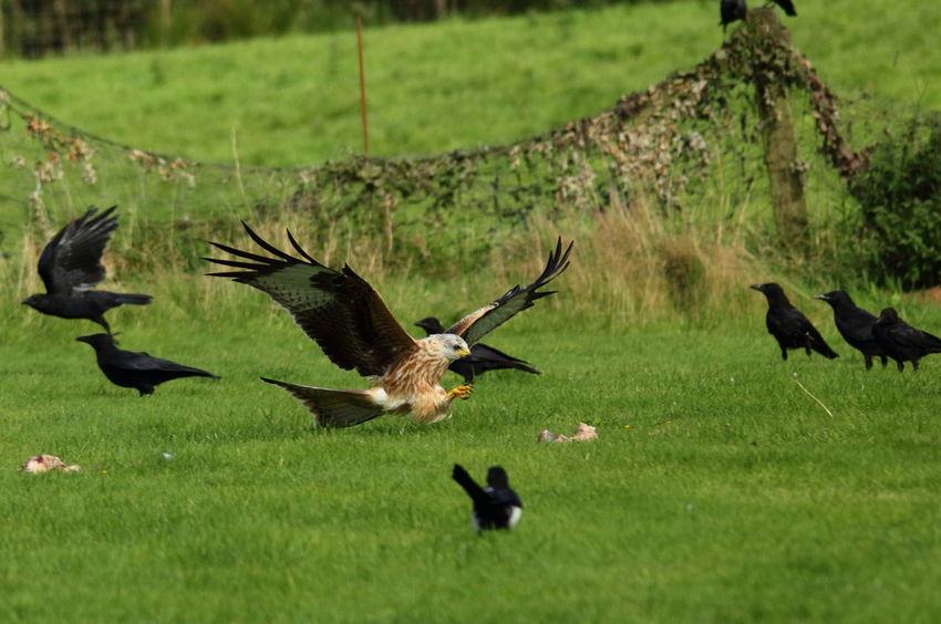 Red Kite Animal Themes Animal Wildlife Animals In The Wild Bird Bird Of Prey Day Field Flying Grass Green Color Nature No People Outdoors Spread Wings Action Action Shot