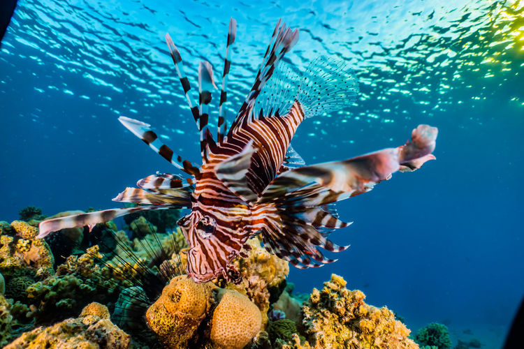 Lion fish in the red sea colorful and beautiful, eilat israel a.e