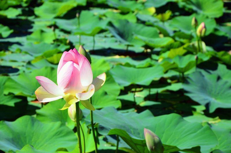 Pocket_allnature Beautiful Nature Beauty In Nature Loves_flowers_ Pocket_colors Loves_nature Loves_garden Igw_colors Loves_flowers Lake View Loves_details Lotoflower Igw_italia