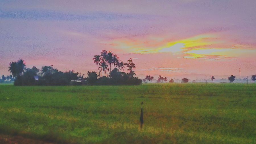 Rice Fields ☀