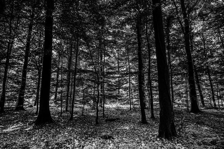 Black & White EyeEm Nature Lover Alone In The Woods Beauty In Nature Black And White Blackandwhite Forest Growth Land Landscape Nature Plant Scenics - Nature Tranquil Scene Tranquility Tree Tree Trunk Trunk WoodLand