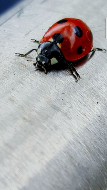 Ladybird :) Red Laidybug Wildlife Samsungphotography Samsung Galaxy S6 Edge+
