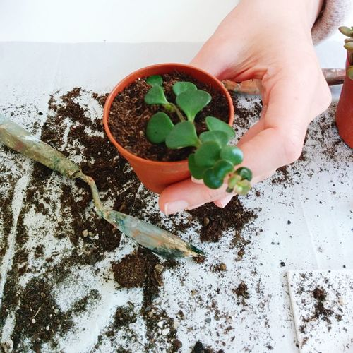 Cropped image of person holding small potted plant