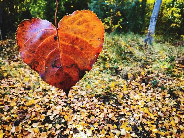 Romanticism Brown Fall Leaves Fall Colors Heart Leaf Heart Shape Heart Autumn Change Nature Dry Leaf Beauty In Nature Autumn Colors Leaves Poplar Leaves Forest Love ♥ Romantic Valentine Inlove Love Forest Trees Poplar Fragility