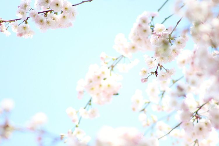 Tree Flower Flower Head Branch Springtime Pink Color Blossom Sky Close-up Cherry Blossom
