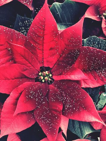 Christmas Poinsettia with decorative sparkles Wet Fragility Rain Water Close-up No People Nature Outdoors Day Flower Head Freshness RainDrop Christmastime Red Holidays Plant Plants And Flowers Red Flower