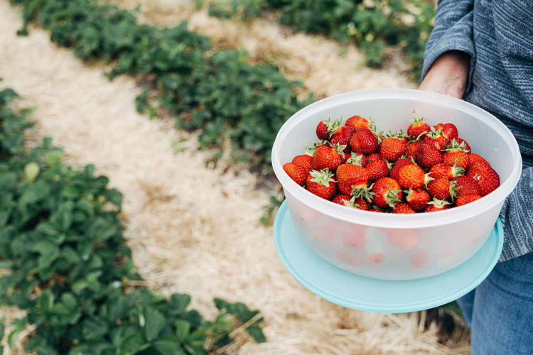 STRAWBERRY FIELDS Food And Drink Agriculture Close Up Food Freshness Fruit Healthy Eating Healthy Food Healthy Lifestyle Nature Outdoors Red Rural Rural Scene Strawberry Vegetable The Foodie - 2019 EyeEm Awards Berry Fruit Wellbeing One Person Real People Day High Angle View Bowl Focus On Foreground Human Body Part Plant Hand Ripe
