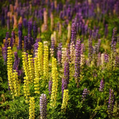 Russell Lupine Lupine Newzealand Flowers Spring Summer