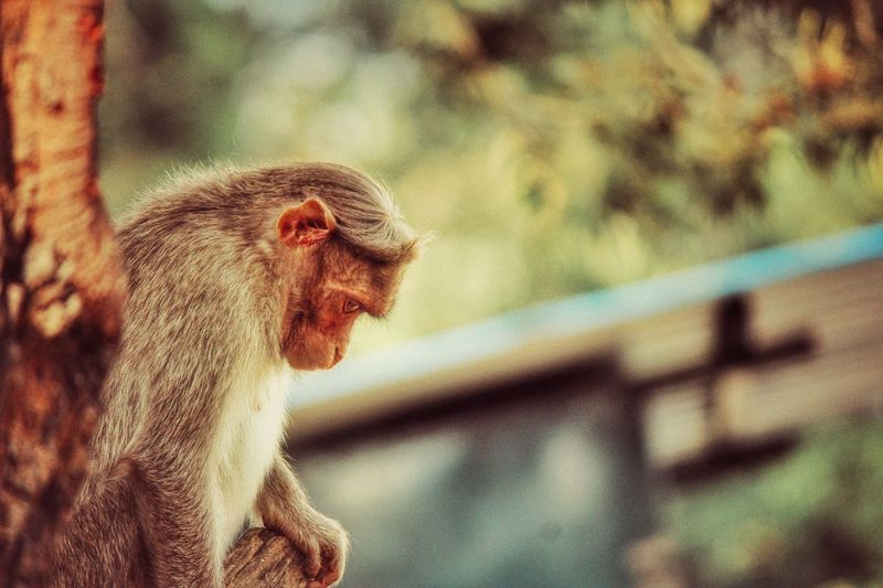 Side View Of Monkey Looking Down