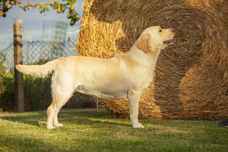Side view of a dog looking away on field