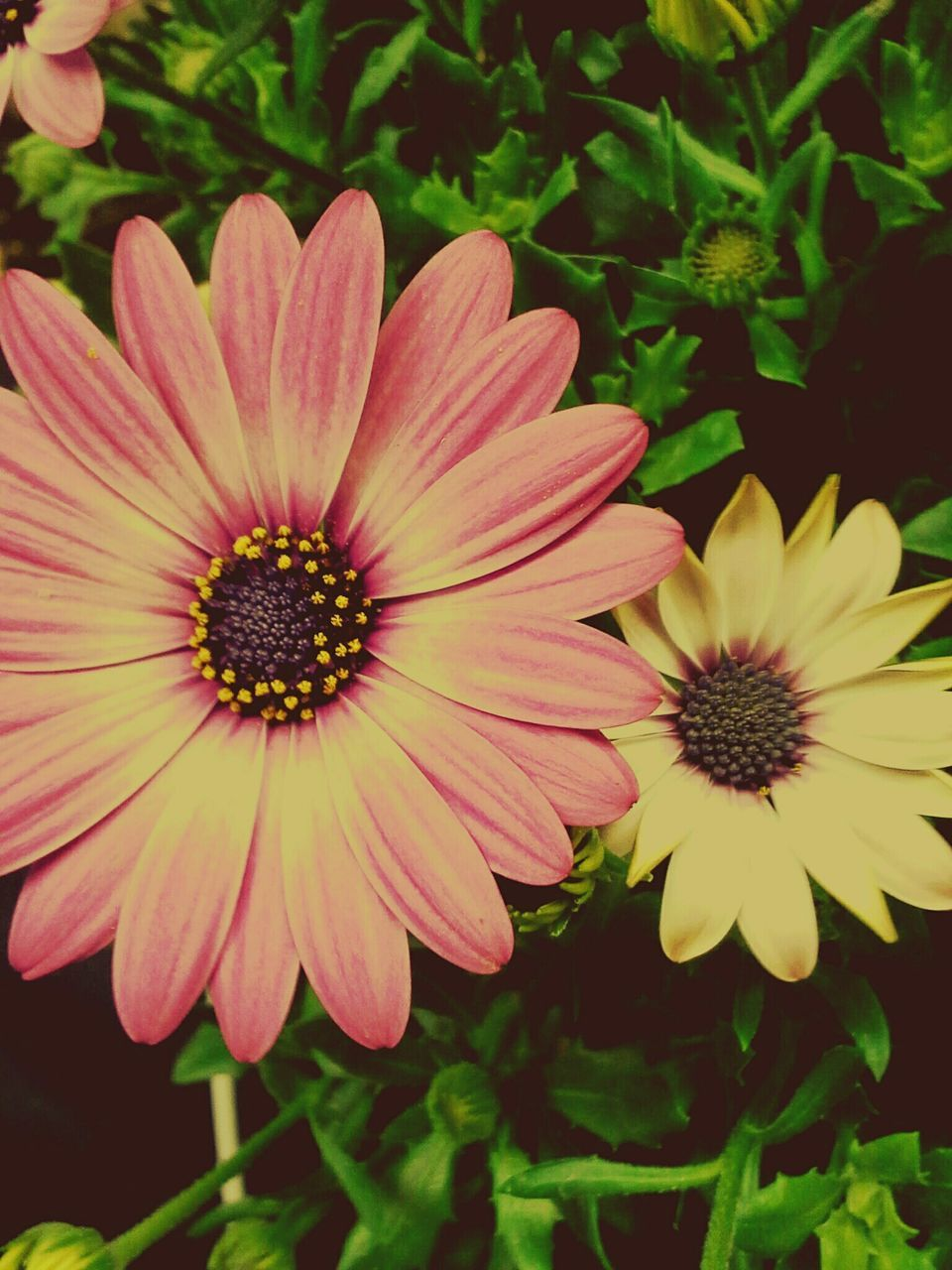 flower, petal, beauty in nature, fragility, freshness, nature, flower head, growth, plant, outdoors, blooming, no people, close-up, day, osteospermum