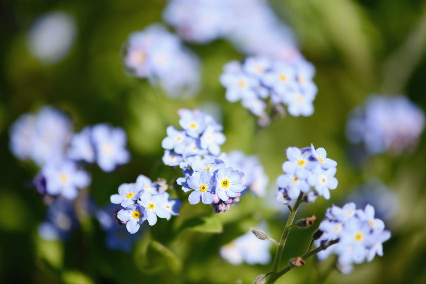 forget-me-not flower in bloom. forget me not. Blooming Blossom Flower Flower Head Focus On Foreground Selective Focus Flowers Forgetmenot Forget Me Not Forget-me-not Forget Me Nots Vergissmeinnicht Blue Flowers