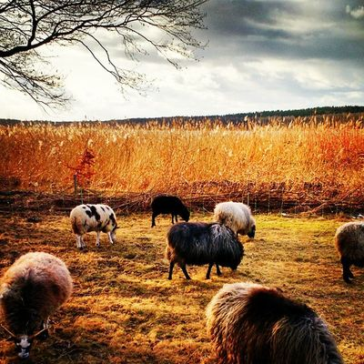 Sheeps Berlin Pfaueninsel Nature Europe Igs_world Ig_germany Ig_berlin Winter Igs_deutschland Insta_germany Insta_europe