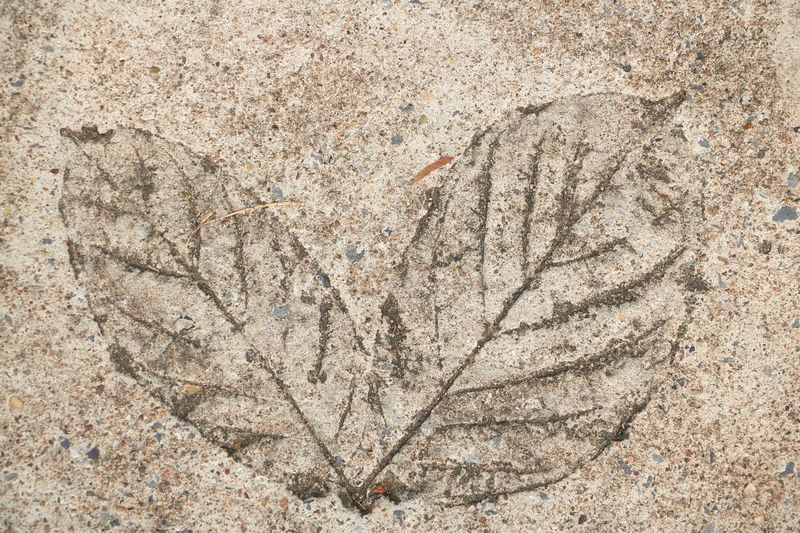 Leaf print on cement floor : Cement Floor Wall - Building Feature Nature No People Pattern Textured  Close-up Outdoors Backgrounds Day Art Ancient Animal Fossil History Architecture Animal Themes Solid The Past Rock - Object Rock Extinct Full Frame
