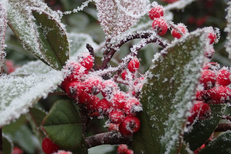 Close-up of snow covered on red berry fruits