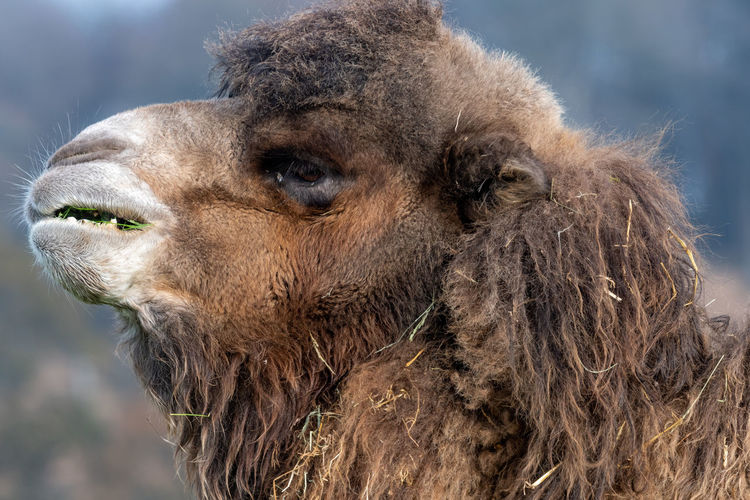 Head shot of a bactrian camel  with grass in it's mouth.