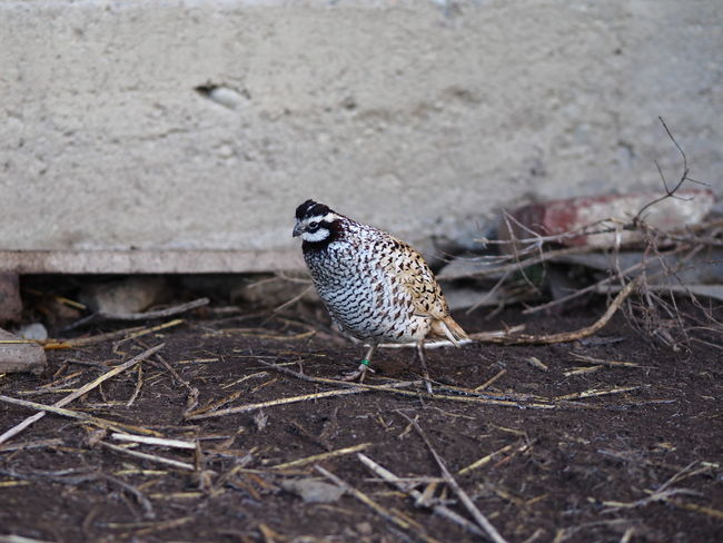 Animal Themes Animal Wildlife Animals In The Wild Bird Close-up Day Full Length Nature No People One Animal Outdoors Perching Quail
