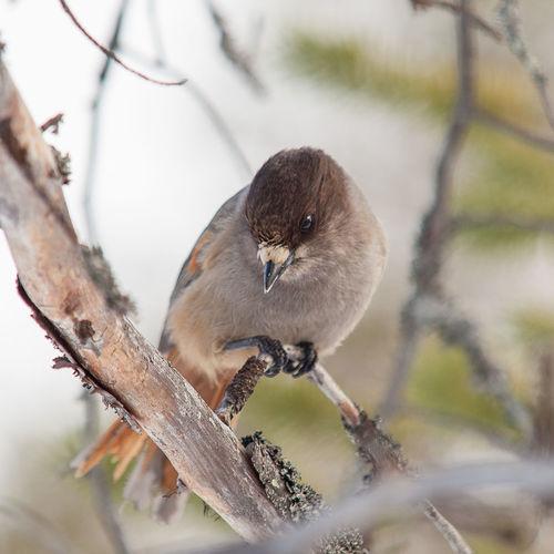 Little bit shy Birds Bird Bird Photography Siberian Jay