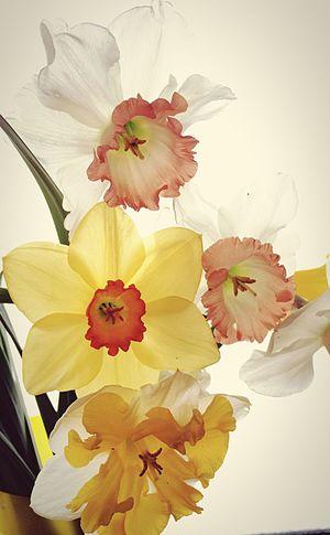 水仙もいろいろ人もいろいろ Plants Flowers IPhoneography EyeEm Flower Flowerporn