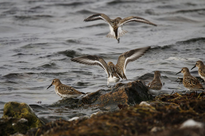 Animal Wing Animals In The Wild Avian Bird Calidris Alpina Dunlin Flapping Flying Medium Group Of Animals Nature Sea Spread Wings Stint Water Water Bird Wildlife