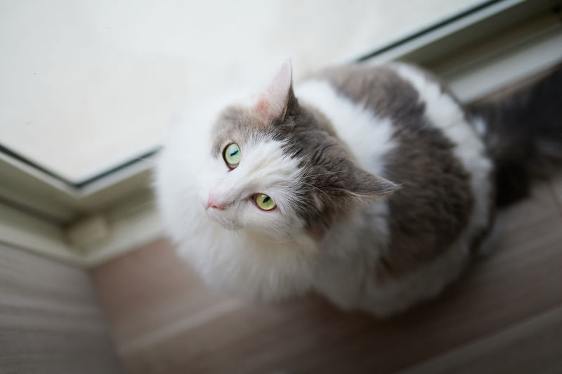 Portrait of white cat sitting beside window at home