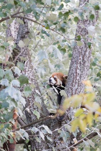 Ailurus Fulgens Animal Themes Beauty In Nature Day Growth Mammal Nature No People Outdoors Plant Tree Wildlife Young Animal