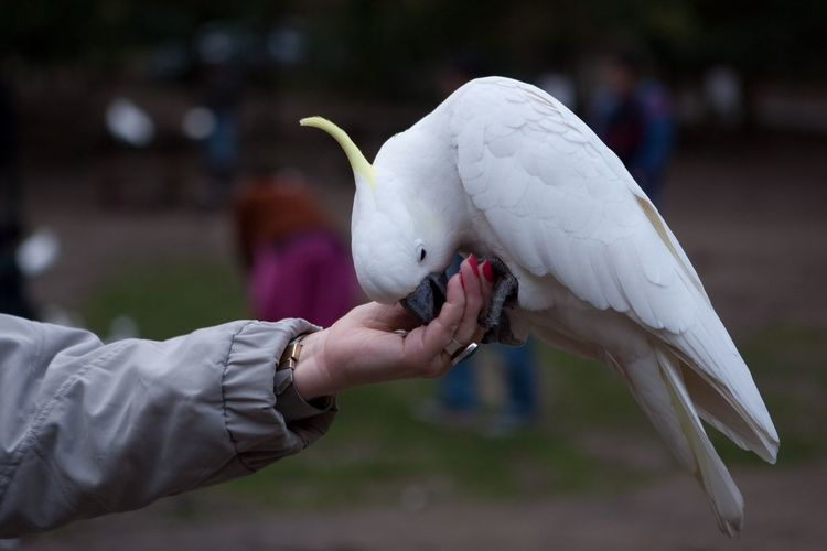 Close-up of cockatoo perching on woman hand