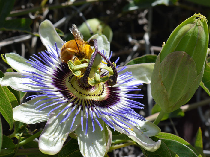 Beauty In Nature Bee Blooming Bumble Bee Close-up Day Flower Flower Head Fragility Freshness Green Growth Leaf Nature No People Outdoors Passion Flower Passion Flower Buds Passion Flowers Petal Plant Pollen Pollination Pollinators Yellow Bee