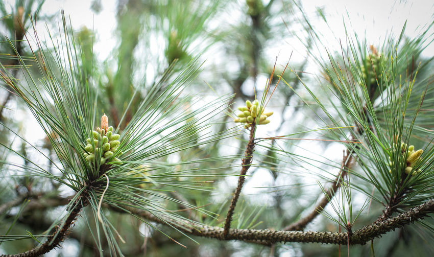 Plant Growth Close-up Green Color Nature No People Beauty In Nature Focus On Foreground Day Pine Tree Tranquility Tree Selective Focus Outdoors Needle - Plant Part Freshness Fragility Field Vulnerability  Flower Coniferous Tree Winter