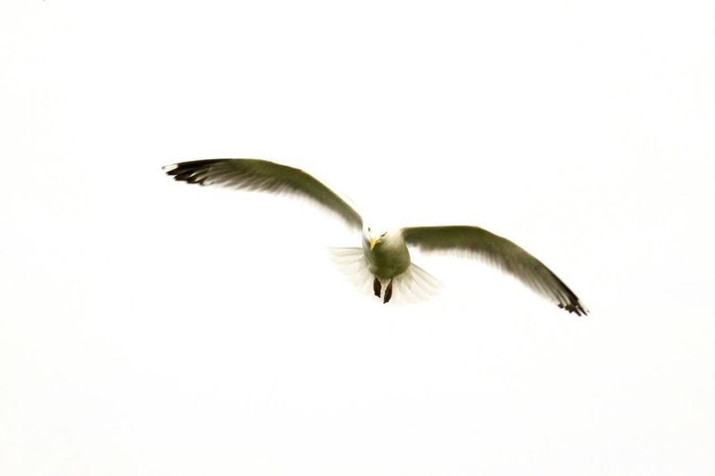 SEAGULL IN FLIGHT Check This Out Taking Photos Guernsey Flighing High Innocence Where's The Food Here I Come !!! Summertime My And My Photos Noedit Beautiful