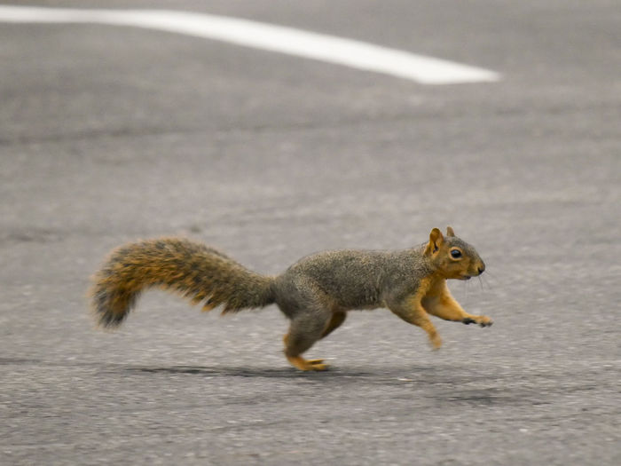 Squirrel running on street