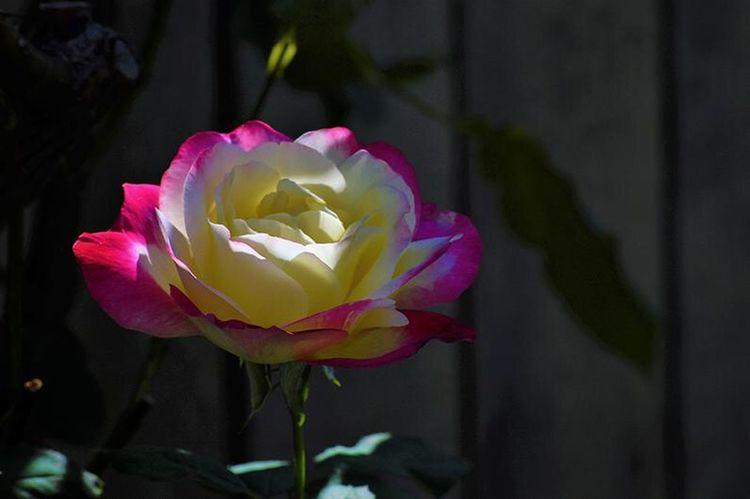 Rosé Flower Flowering Plant Plant Petal Beauty In Nature Vulnerability  Fragility