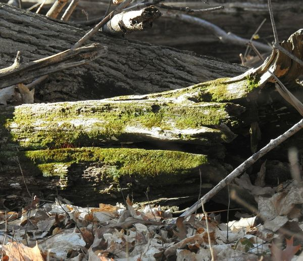 green moss on a fallen tree log Log Moss & Lichen Mossy Tree Inthewoods Lifeinthewoods Green Greenery Leaves Hiking Nature Nature_collection Nature Photography Naturelovers Fall Autumn Winter Fishing Net Fishing Equipment High Angle View Dead Tree Fallen Tree Bark Tree Trunk Moss Woods Growing