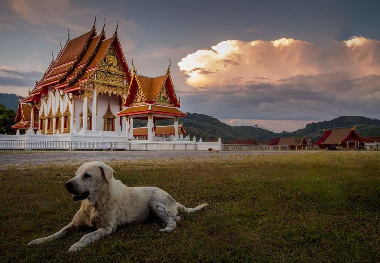 Homeless dog in Temple Thailand. No People