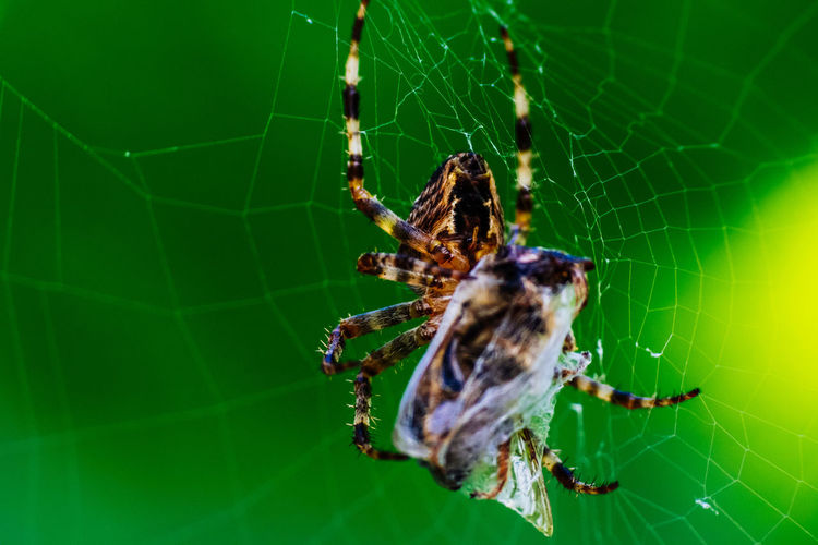 Animal Themes Animals In The Wild Beauty In Nature Close-up Complexity Day Focus On Foreground Fragility Green Color Insect Macro Macro Photography Makro Nature One Animal Outdoors Spider Spider Spider Eating Spider Web Spinne Spinnenmakro Web Wildlife Zoology
