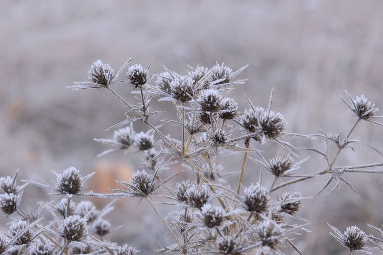 Beauty In Nature Fragility Vulnerability  Close-up Focus On Foreground Nature Winter Cold Temperature Frosty Mornings Frosty Frozen Nature Frozen Cold Days Cold Winter ❄⛄ Nature_collection Nature Photography Scenics - Nature Thistle Natural Beauty Beautiful Nature Lovely Beautiful Naturelovers EyeEm Nature Lover EyeEm Gallery