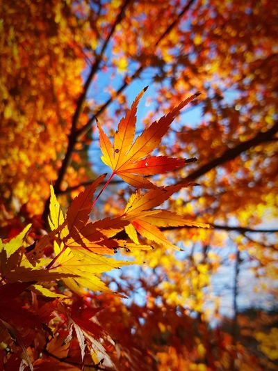 Autumn leaves of a maple. Leaf Autumn Beauty In Nature Maple Tree Maple Leaf No People Maple Sky Blue Yellow Gold Outdoors Tree