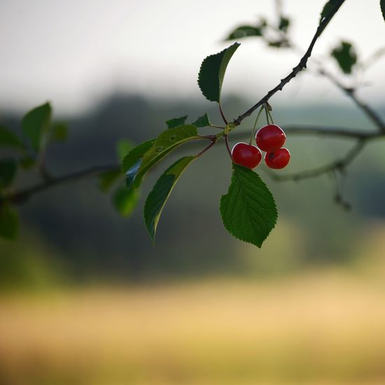 Cherry Tree Nature Photography Photography Vs. Depression Fruit Red Healthy Eating Food Plant Part Leaf Focus On Foreground Berry Fruit Nature