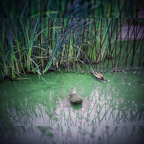 Water Nature Animals In The Wild Outdoors Animal Themes Green Color Beauty In Nature Water_collection Water Reflections Japonese Garden Serenity... Serenity Poule D'eau Duck
